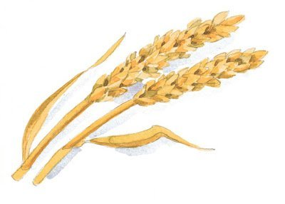 Ingredients 101- Hydrolyzed Wheat Protein