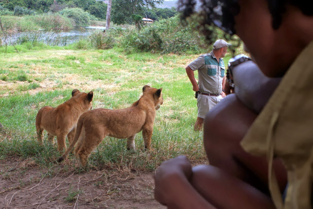 Lion Cubs and Calves, Oh My!